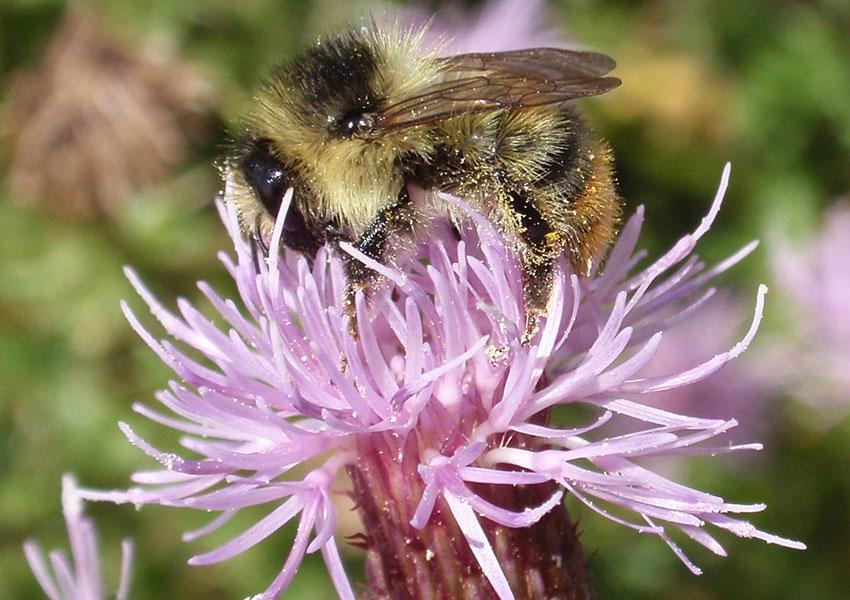Shrill Carder bee on flower